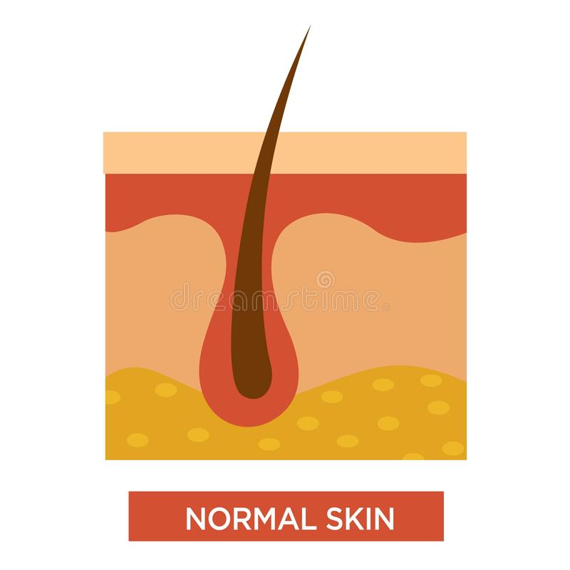 Normal healthy skin structure with body hair vector illustration