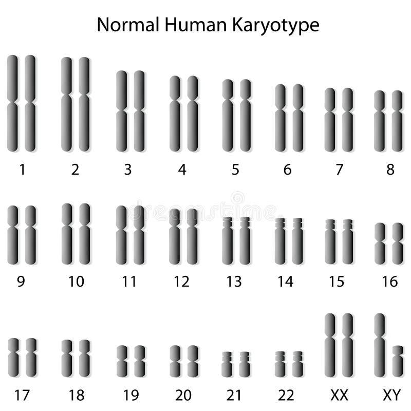 Normal mänsklig karyotype royaltyfri illustrationer