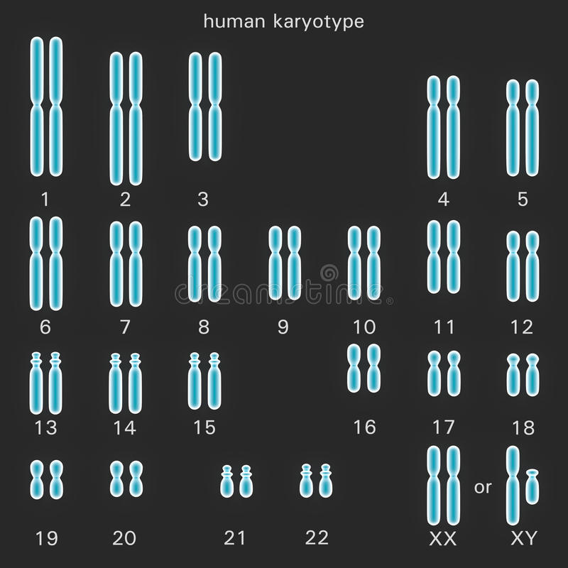 Normal mänsklig karyotype stock illustrationer
