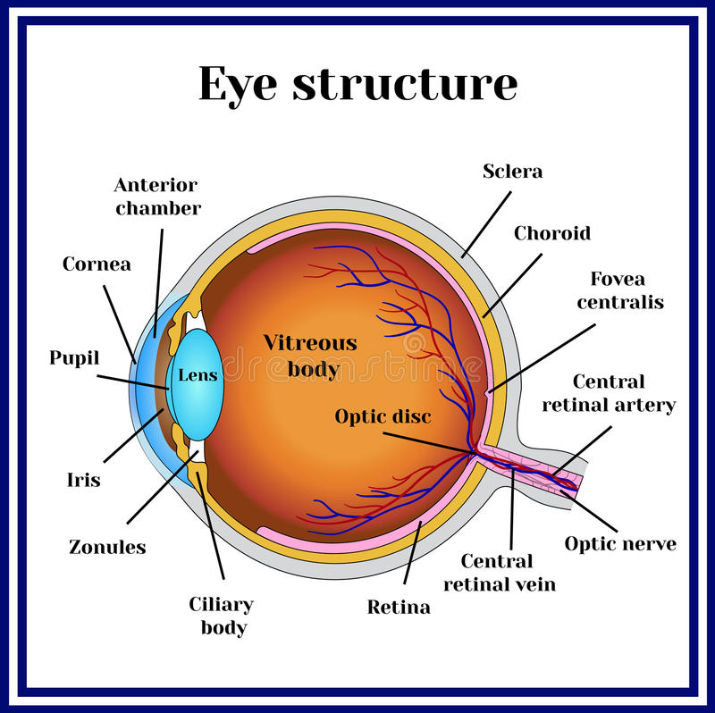 Normal Vision  Eyeball Structure  Medicine  Stock Vector