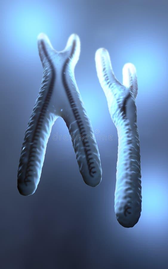 Normala seende blått färgade och genomskinliga x- och y-kromosomer royaltyfri illustrationer