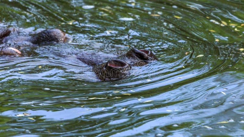 Normale Nilpferde im Wasser des Schwimmbeckens des Zoo-aviären Die afrikanischen Herbivore-Wassersäugetiere Hippopotamus verbring lizenzfreies stockbild