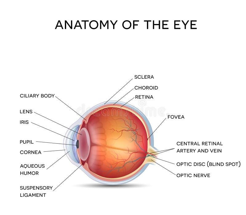 Normales Auge vektor abbildung. Illustration von abbildung - 61183719
