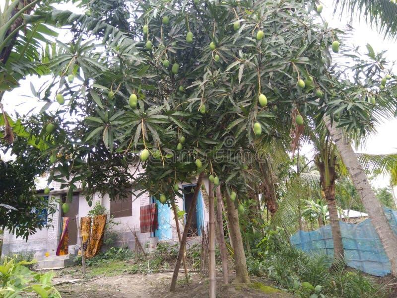 Normalny mangowy drzewo z miastowym & wiejskim miejscem zdjęcia royalty free