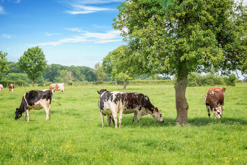 Norman black and white cows grazing on grassy green field with trees on a bright sunny day in Normandy, France. Summer countryside royalty free stock images