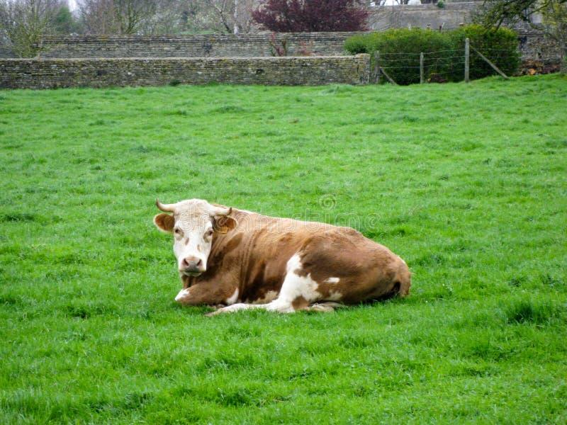 Norman Cow imagenes de archivo