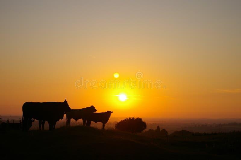 Normandie-Kühe lizenzfreies stockfoto