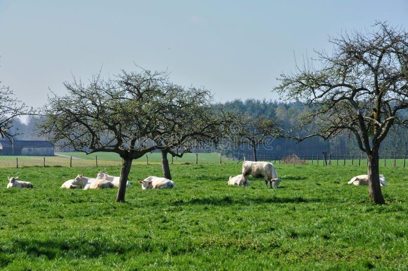 Normandie, vaches dans le pré en La Trappe de Soligny photographie stock libre de droits