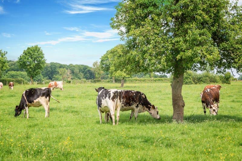 Normandiska svartvita kor som betar på gräs- grönt fält med träd på en ljus solig dag i Normandie, Frankrike Sommarbygd royaltyfria bilder