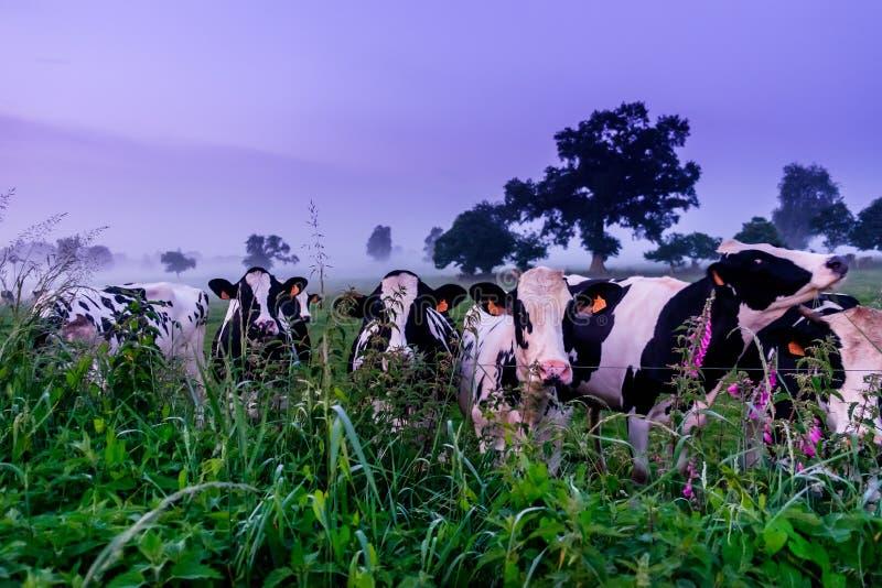 Normando Cows-2 fotografía de archivo libre de regalías