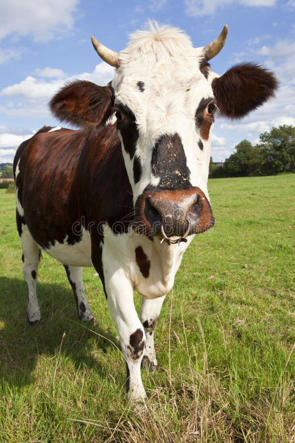 Download Normandy Cow stock image. Image of field, sunshine, livestock - 16485619