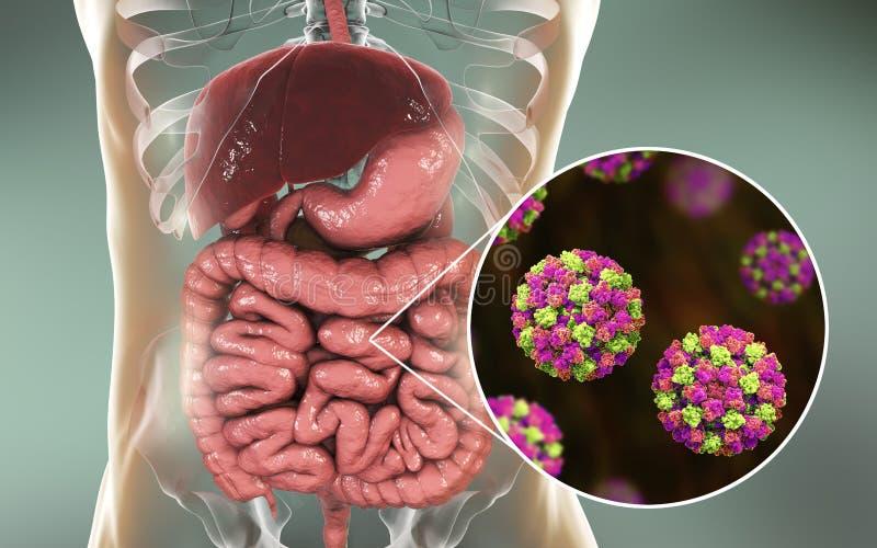 Noroviruses i mänsklig inälva royaltyfri illustrationer