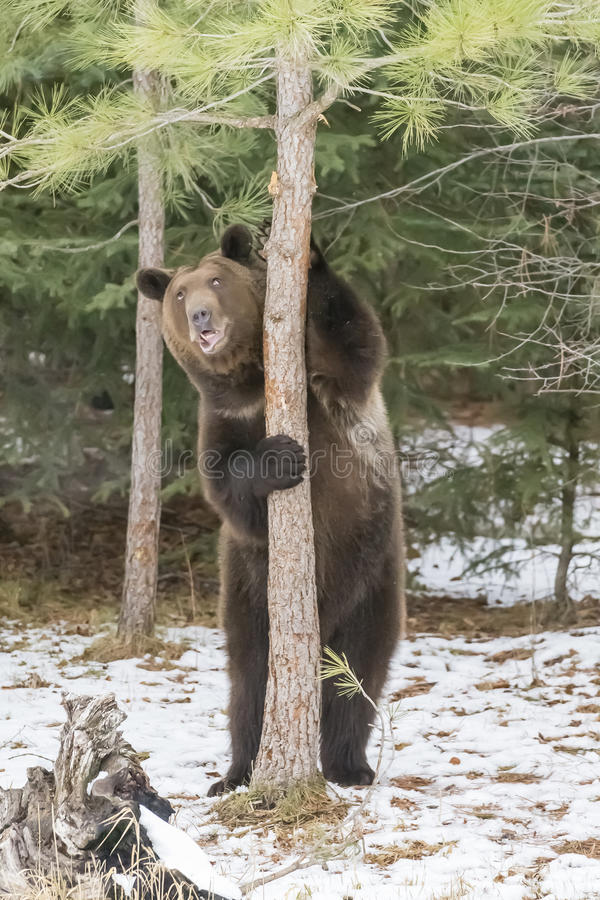Norr - amerikan Ninja Bear royaltyfria foton