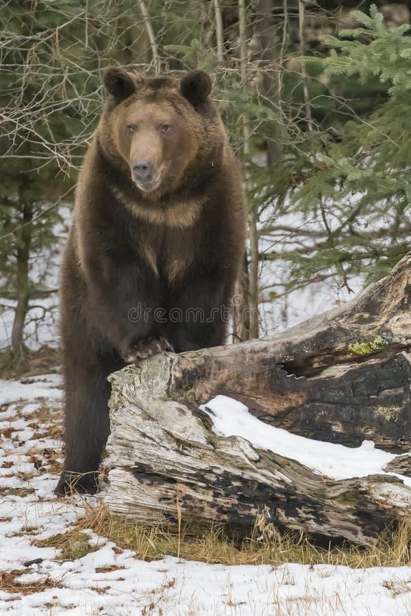 Norr - amerikan Ninja Bear arkivfoton