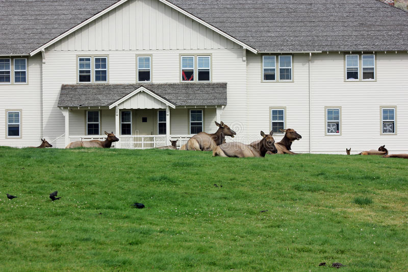 Norr - amerikansk älg som vilar på gräsmatta, Yellowtstone nationalpark royaltyfri fotografi