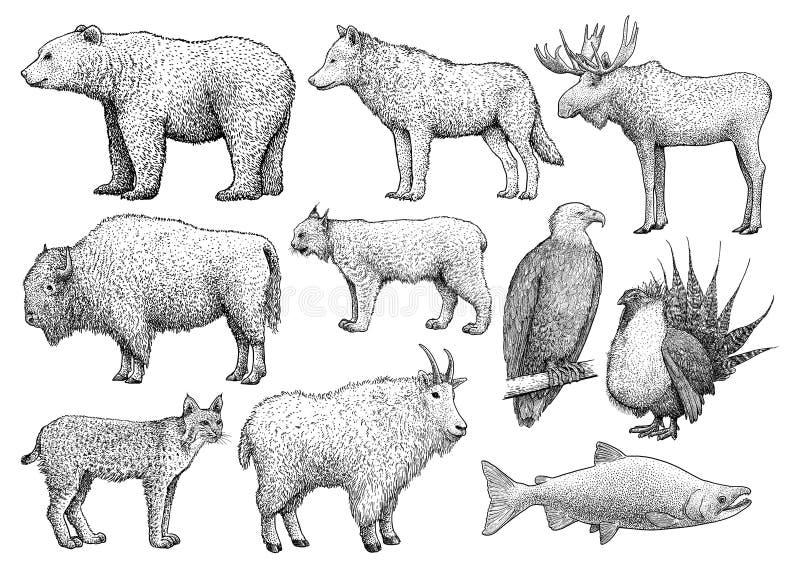 Norr - amerikansk djursamling, illustration, teckning, gravyr, färgpulver, linje konst, vektor stock illustrationer