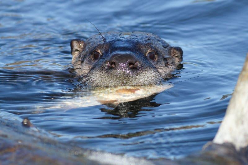 Norr - amerikansk flodutter som äter fisken arkivbilder