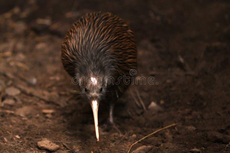 Norr ?Brown Kiwi, Apteryxmantelli arkivbilder