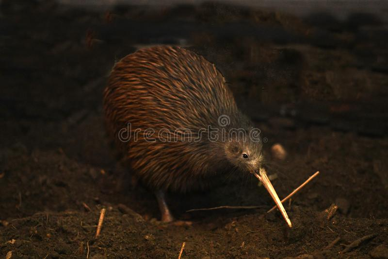 Norr ?Brown Kiwi, Apteryxmantelli royaltyfri foto
