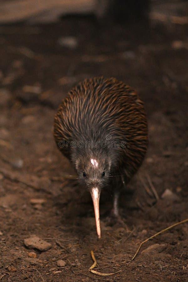 Norr ?Brown Kiwi, Apteryxmantelli royaltyfria foton