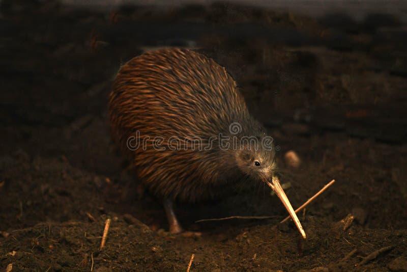 Norr ?Brown Kiwi, Apteryxmantelli royaltyfria bilder