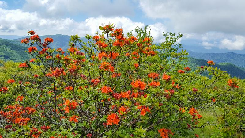 Norr Carolina Orange Flame Azaleas i blom arkivfoto
