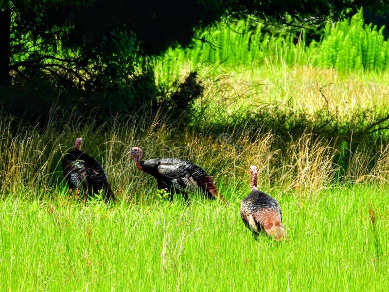 Norr Carolina Wild Turkey arkivbilder