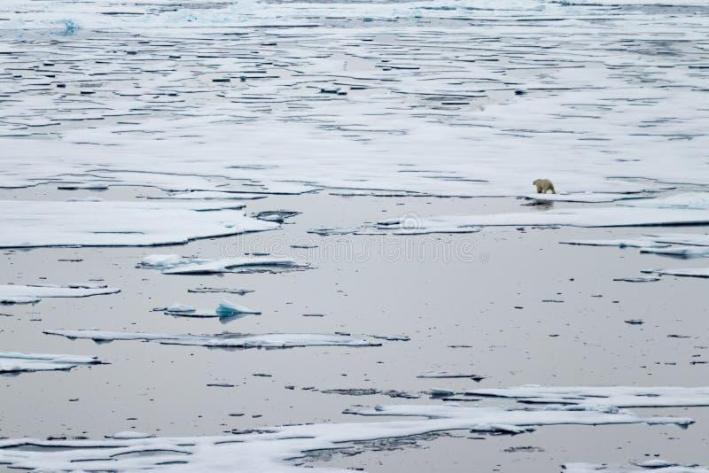 Norr iskant på 82 41 01 grader norr med en isbjörn som går i bakgrunden arkivfoto
