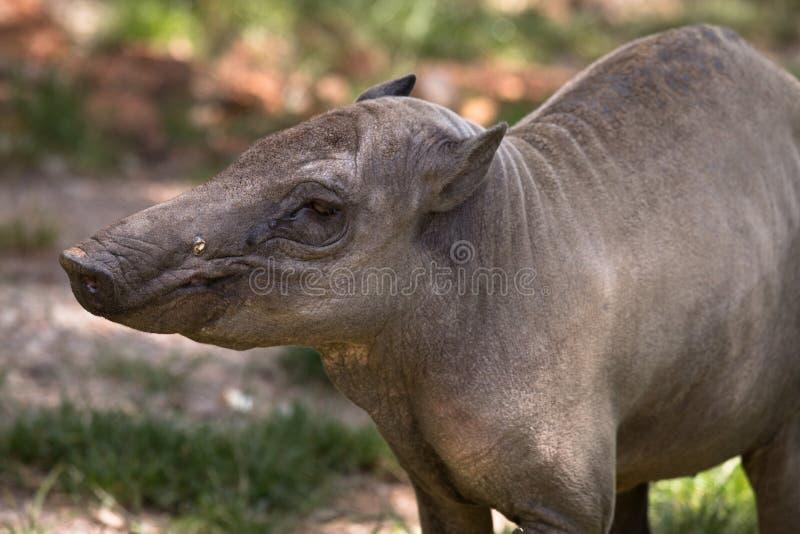 Norr Sulawesi babirusa, hjort-svin, gammal kvinnlig royaltyfria bilder