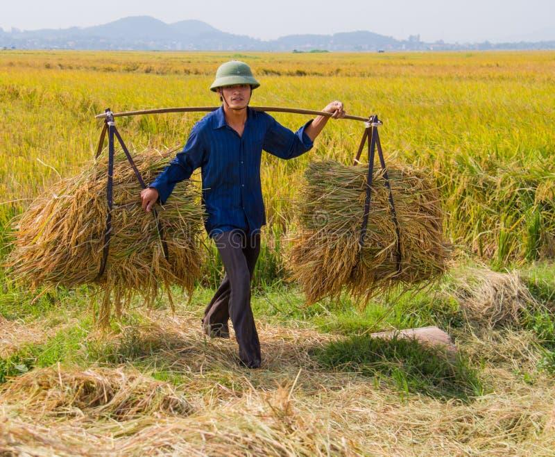 Norr vietnamesiskt bondeskördfält royaltyfri fotografi