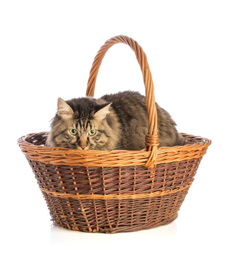 Norrman för stor katt, kattdjur med långt hår, i korg royaltyfria foton