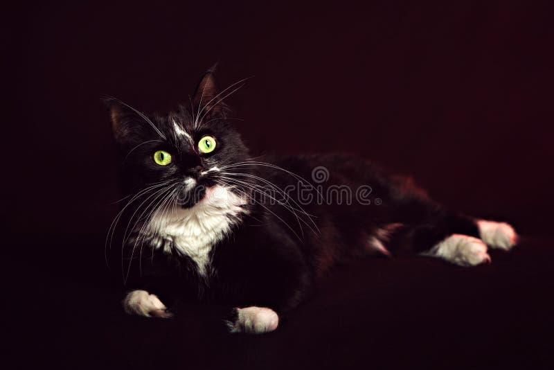 Norrman Forest Cat som ligger på en svart bakgrund arkivfoton