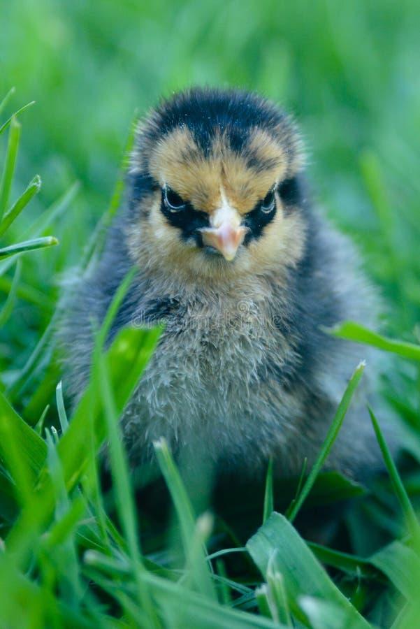 Norse Gouden Wyandotte Chick Chicken royalty-vrije stock foto's