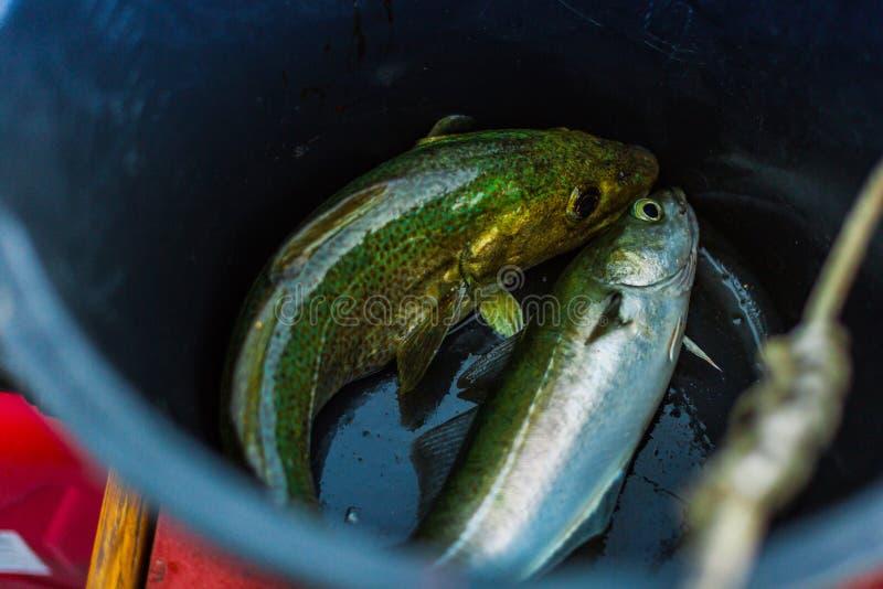 Norsk lyrtorsk för fisk två i en hink royaltyfria bilder