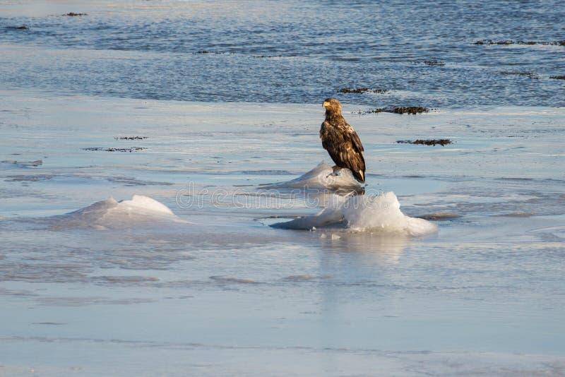 Norskt hav Eagles arkivfoto