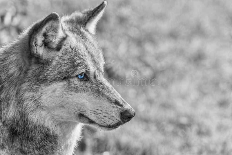 Norteamericano Gray Wolf con ojos azules imágenes de archivo libres de regalías