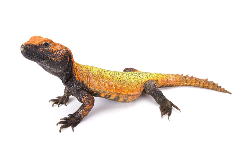 North African Spiny-tailed Lizard (Uromastyx acanthinura). Uromastyx acanthinura, the North African Spiny-tailed Lizard is a brightly colored herbivorous lizard stock photos
