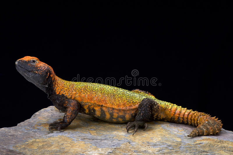 North African Spiny-tailed Lizard (Uromastyx acanthinura). Uromastyx acanthinura, the North African Spiny-tailed Lizard is a extremely colorful desert inhabitant stock image