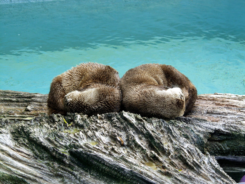 North America Otter royalty free stock images