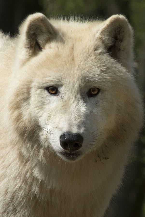 North American Arctic Wolf stock photo