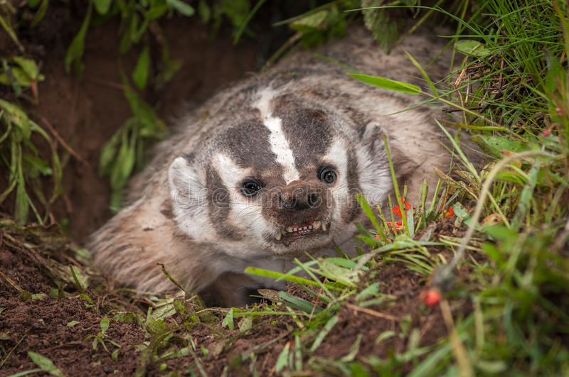 North American Badger Taxidea taxus Bares Teeth From Within De. N - captive animal royalty free stock photography