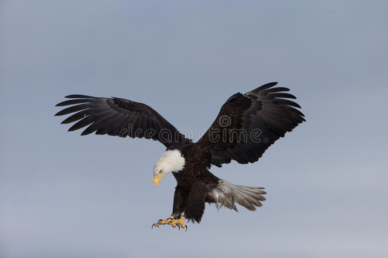 North American Bald Eagle Landing stock photo