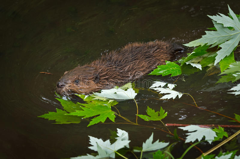 North American Beaver Castor canadensis Kit Swims Past Leaves. Captive animal stock photography