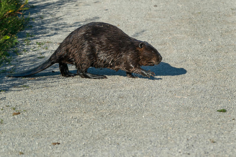 North American Beaver. Crossing a gravel path. Tommy Thompson Park, Toronto, Ontario, Canada royalty free stock photos