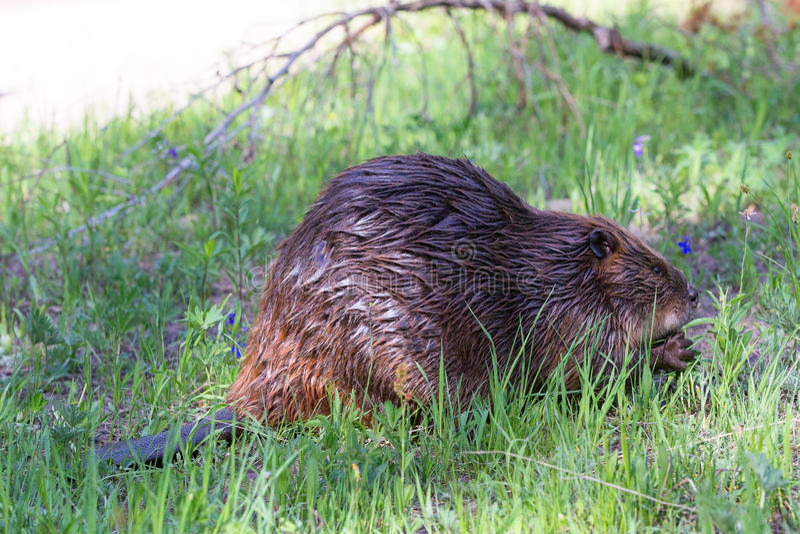 North American beaver feeding on your saplings royalty free stock image