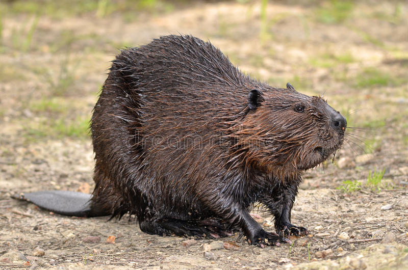 North American Beaver on ground royalty free stock photography