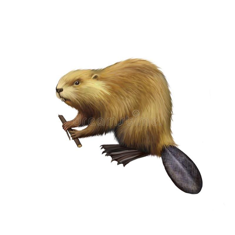 North American Beaver holding tree branch. stock illustration