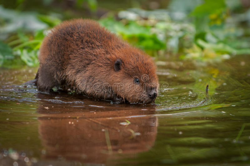 North American Beaver Kit Castor canadensis Reflected in Water. Captive animal stock photos