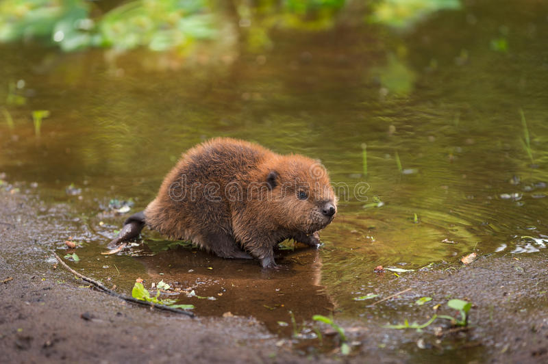North American Beaver Kit Castor canadensis Stands on Shorelin. E - captive animal royalty free stock image