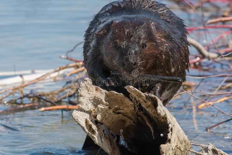 North American Beaver. Munching on a stick. Tommy Thompson Park, Toronto, Ontario, Canada royalty free stock photo